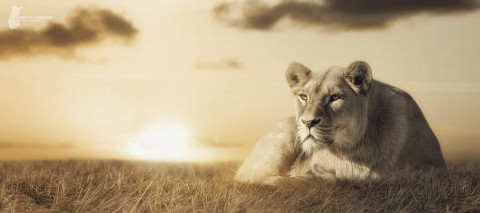 Fotostyle Schindler / Digital Artist / Lion / Photoshop Manipulation