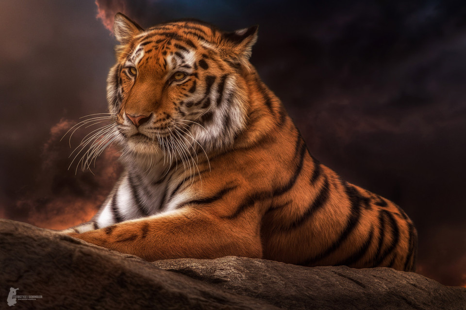Fotostyle Schindler / Digital Artist / Tiger / Photoshop Manipulation