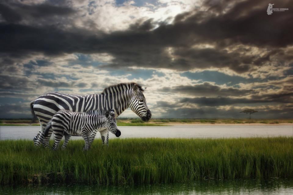 Fotostyle Schindler / Digital Artist / Zebra / Photoshop Manipulation