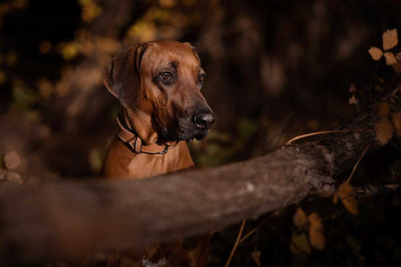 Rhodesian Ridgeback / hundefotografie / Fotostyle Schindler / Fotograf / Straubing